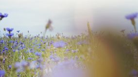 Κάμερα που κινείται δεξιά προς τα αριστερά πέρα από τα όμορφα μπλε knapweed λιβαδιών wildflowers στο floral θερινό τομέα χωρίς απόθεμα βίντεο