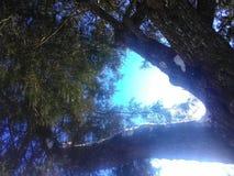 Κάτω από το δέντρο ιουνιπέρων με το χιόνι στους κλάδους στοκ εικόνες