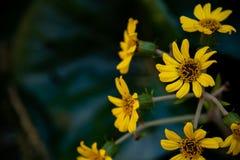 Κίτρινα λουλούδια μαργαριτών στη φύση στοκ φωτογραφίες με δικαίωμα ελεύθερης χρήσης