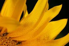 Κίτρινα πέταλα ενός μεγάλου λουλουδιού ενός ηλίανθου στοκ φωτογραφία