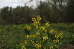 Κίτρινα wildflowers σε έναν τομέα στην άνοιξη στοκ εικόνες