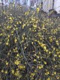 Κίτρινες εγκαταστάσεις θάμνων άνοιξη Forsythia στοκ εικόνες