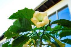 Κίτρινη σάλπιγγα αγγέλων οφθαλμών λουλουδιών, solanceae sanguinea brugmansia στοκ εικόνες