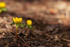 Κίτρινο λουλούδι χειμερινών ακονίτων την άνοιξη στοκ εικόνες με δικαίωμα ελεύθερης χρήσης