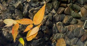 Κίτρινο νερό επιπλεόντων σωμάτων φύλλων απόθεμα βίντεο