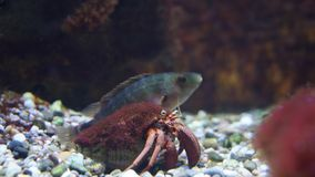 Καβούρι ερημιτών στο κοχύλι με τα ψάρια στο backgroung στοκ φωτογραφίες
