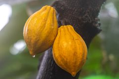 Κακάο-φρούτα στην κινηματογράφηση σε πρώτο πλάνο βροχής στοκ εικόνες