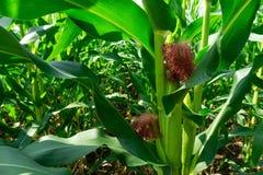 Καλαμπόκι που έχει τους σπόρους και επιτυγχάνει τη συγκομιδή στοκ εικόνα με δικαίωμα ελεύθερης χρήσης