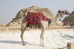 Καμήλα για έναν περίπατο με την περίκομψη κινηματογράφηση σε πρώτο πλάνο σελών, Giza, Αίγυπτος στοκ φωτογραφίες