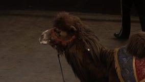 Καμήλα απόθεμα βίντεο