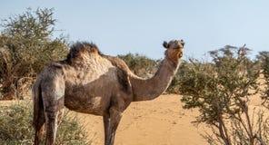 Καμήλα στην έρημο του Σουδάν που τρώει τα φύλλα ενός θάμνου ακακιών, Σαχάρα στοκ εικόνα