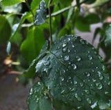 Καταπληκτικά σταγονίδια νερού στα φύλλα στοκ εικόνα