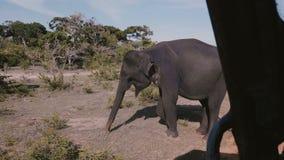 Καταπληκτική άποψη από μέσα από το αυτοκίνητο σαφάρι, γιγαντιαίος ώριμος άγριος ελέφαντας που σκάβει το έδαφος που ψάχνει τα τρόφ φιλμ μικρού μήκους