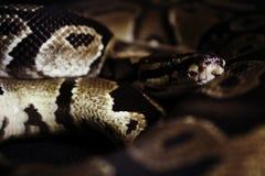 Καφετί φίδι στοκ εικόνες με δικαίωμα ελεύθερης χρήσης