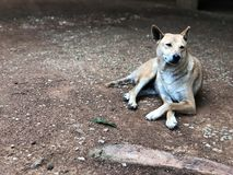 Καφετιά ταϊλανδικά σκυλιά στο φυσικό έδαφος Pet και φίλος στο σπίτι καλό κατοικίδιο ζώο στοκ εικόνες