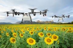 Κηφήνας γεωργίας που πετά στον τομέα ηλίανθων, έξυπνη αγροτική έννοια στοκ εικόνες