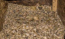 Κιβώτιο με το πριονίδι όπου οι κότες γεννούν τα αυγά στοκ φωτογραφία με δικαίωμα ελεύθερης χρήσης