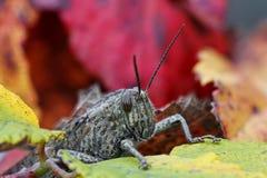 Κινηματογράφηση σε πρώτο πλάνο επικεφαλής Grasshopper Η μακρο φωτογραφία μεταβιβάζει όλες τις λεπτομέρειες του εντόμου Κάλυψη - 1 στοκ εικόνες