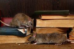 Κινηματογράφηση σε πρώτο πλάνο δύο αρουραίος & x28 Rattus norvegicus& x29  αναρριχείται στα παλαιά βιβλία στο δάπεδο στη βιβλιοθή στοκ εικόνες