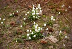Κινηματογράφηση σε πρώτο πλάνο της πρόωρης ανάπτυξης εγκαταστάσεων πτώσης χιονιού άνοιξη άσπρης πυκνά μέσα στο πράσινο δασικό καφ στοκ φωτογραφίες με δικαίωμα ελεύθερης χρήσης