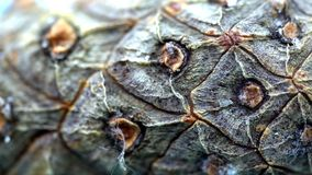 Κινηματογράφηση σε πρώτο πλάνο του φλοιού κώνων κέδρων Οργανικός φυσικός φλοιός των κώνων πεύκων με τη σύσταση των ξύλινων κυττάρ στοκ εικόνες με δικαίωμα ελεύθερης χρήσης
