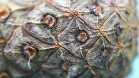 Κινηματογράφηση σε πρώτο πλάνο του φλοιού κώνων κέδρων Οργανικός φυσικός φλοιός των κώνων πεύκων με τη σύσταση των ξύλινων κυττάρ απόθεμα βίντεο