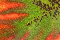 Κινηματογράφηση σε πρώτο πλάνο του πράσινου και κόκκινου φύλλου στοκ εικόνες