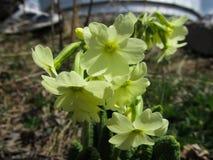Κινηματογράφηση σε πρώτο πλάνο των κίτρινων primrose veris Primula άνοιξη με τα φύλλα που αυξάνονται σε ένα καθάρισμα στις άγρια  στοκ εικόνες