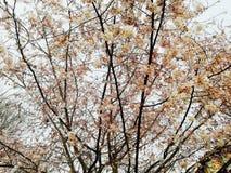Κλάδοι δέντρων με πολλά ρόδινα λουλούδια στοκ εικόνα
