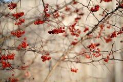 Κλάδοι δέντρων του Rowan στοκ εικόνες με δικαίωμα ελεύθερης χρήσης