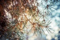Κλάδος ενός χειμερινού δέντρου στοκ εικόνα