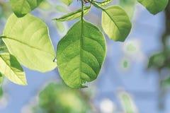 Κλάδος δέντρων και πράσινα φύλλα στοκ φωτογραφίες με δικαίωμα ελεύθερης χρήσης