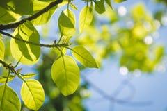 Κλάδος δέντρων και πράσινα φύλλα στοκ εικόνα με δικαίωμα ελεύθερης χρήσης