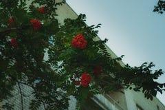 Κλάδος του Rowan με μια δέσμη των κόκκινων ώριμων μούρων στοκ εικόνα με δικαίωμα ελεύθερης χρήσης
