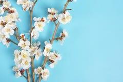 Κλαδάκια του δέντρου βερικοκιών με τα λουλούδια στο μπλε υπόβαθρο Η έννοια της άνοιξη ήρθε στοκ εικόνα