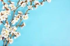 Κλαδάκια του δέντρου βερικοκιών με τα λουλούδια στο μπλε υπόβαθρο Η έννοια της άνοιξη ήρθε στοκ φωτογραφίες