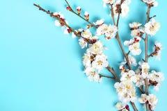 Κλαδάκια του δέντρου βερικοκιών με τα λουλούδια στο μπλε υπόβαθρο Η έννοια της άνοιξη ήρθε στοκ εικόνες