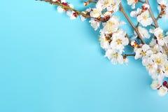 Κλαδάκια του δέντρου βερικοκιών με τα λουλούδια στο μπλε υπόβαθρο Η έννοια της άνοιξη ήρθε στοκ φωτογραφία με δικαίωμα ελεύθερης χρήσης