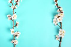 Κλαδάκια του δέντρου βερικοκιών με τα λουλούδια στο μπλε υπόβαθρο Η έννοια της άνοιξη ήρθε στοκ εικόνα με δικαίωμα ελεύθερης χρήσης