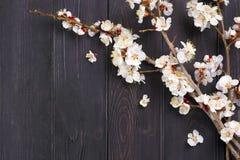 Κλαδάκια του δέντρου βερικοκιών με τα λουλούδια στο μπλε υπόβαθρο Η έννοια της άνοιξη ήρθε στοκ φωτογραφία