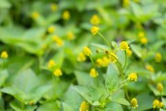 Κλαδίσκος του φρέσκου ανθίζοντας φυτού κάρδαμου παραγράφου στοκ φωτογραφίες με δικαίωμα ελεύθερης χρήσης