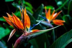 Κλείστε επάνω από ενός τα άνθη πουλιών παραδείσου στοκ εικόνες με δικαίωμα ελεύθερης χρήσης