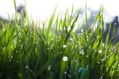 Κλείστε επάνω, μακροεντολή των πτώσεων δροσιάς στις λεπίδες της φρέσκιας χλόης, ακτίνες πρωινού του ήλιου, της αποταμίευσης νερού στοκ φωτογραφία με δικαίωμα ελεύθερης χρήσης