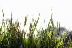 Κλείστε επάνω, μακροεντολή των πτώσεων δροσιάς στις λεπίδες της φρέσκιας χλόης, ακτίνες πρωινού του ήλιου, της αποταμίευσης νερού στοκ φωτογραφία