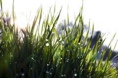 Κλείστε επάνω, μακροεντολή των πτώσεων δροσιάς στις λεπίδες της φρέσκιας χλόης, ακτίνες πρωινού του ήλιου, της αποταμίευσης νερού στοκ εικόνα