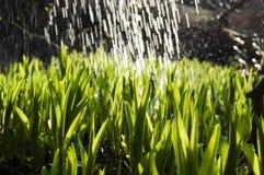 Κλείστε επάνω, μακροεντολή των πτώσεων δροσιάς στις λεπίδες της φρέσκιας χλόης, ακτίνες πρωινού του ήλιου, της αποταμίευσης νερού στοκ εικόνα με δικαίωμα ελεύθερης χρήσης