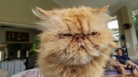 Κλείστε επάνω μιας άσχημης εξωτικής κοντής γάτας τρίχας που είναι πολύ ενοχλημένη και βαριεστημένη με τους ιδιοκτήτες στοκ εικόνες
