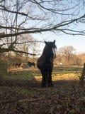 κλείστε επάνω του μαύρου αλόγου εργασίας στεμένος στο φράκτη στοκ φωτογραφία