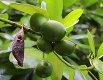 Κλείστε επάνω των διαφορετικών φρούτων που κρεμούν στα δέντρα που λαμβάνονται στα νησιά των Σεϋχελλών στοκ εικόνα