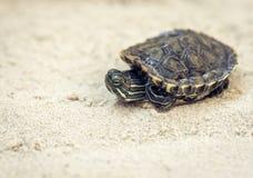 Κοινός ολισθαίνων ρυθμιστής, επίσης γνωστός ως χελώνα ολισθαινόντων ρυθμιστών του Cumberland, κόκκινος-έχουσα νώτα χελώνα ολισθαι στοκ φωτογραφία